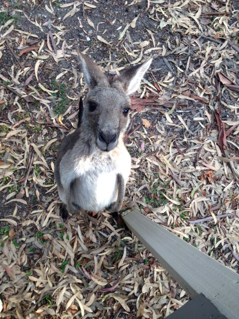 kangaroo friend
